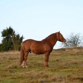 Athos- hingst- mkt trevlig ridhäst