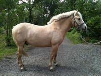val, f -2007 144 mkh, isabell e.  u.  Estnisk ponny (Ösel)